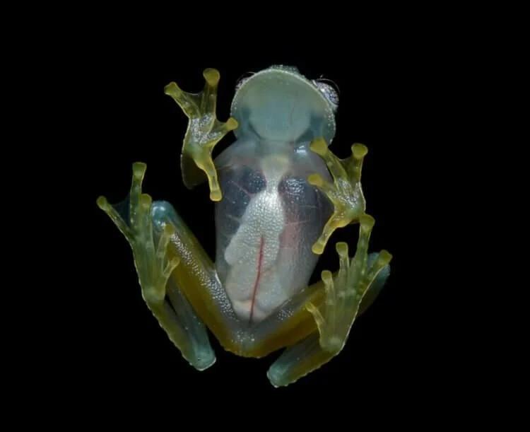 Зачем природа создала существ с прозрачной кожей?