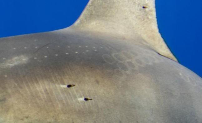 На спине акулы увидели шрамы от присосок гигантского кальмара - Паранормальные новости