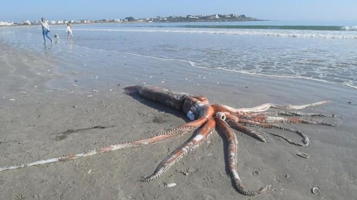 4-метрового кальмара выбросило на пляж ЮАР (+ видео) - Паранормальные новости
