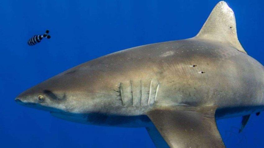Таинственные шрамы, обнаруженные на гавайской акуле, могут быть признаком атаки гигантского кальмара