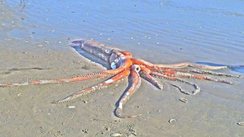 Гигантского кальмара выбросило на побережье в Южной Африке