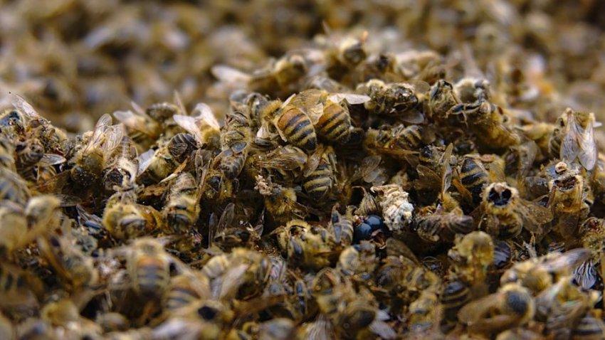 В США за последний год погибло рекордное количество пчел