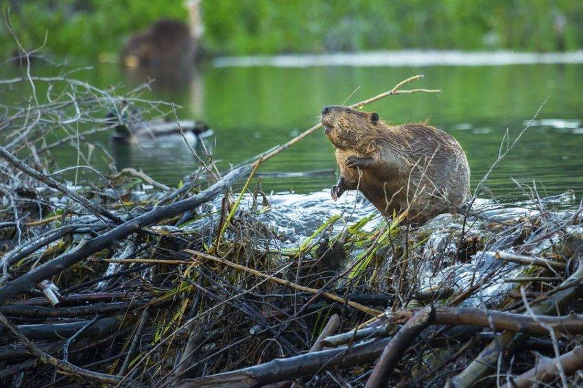 Арктическая жара: что теплое лето означает для дикой природы региона