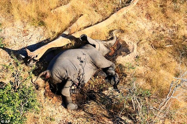 Загадочная смерть слонов в Ботсване была вызвана «новым патогеном» - Паранормальные новости