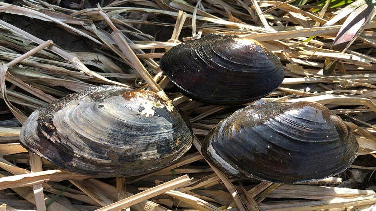 Гигантские китайские моллюски захватили Волгу - Паранормальные новости
