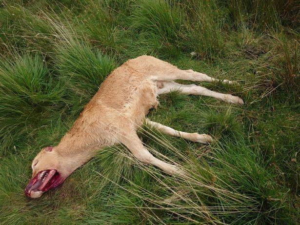 В Англии нечто убило теленка, с хирургической точностью вырезав из него куски мяса - Паранормальные новости