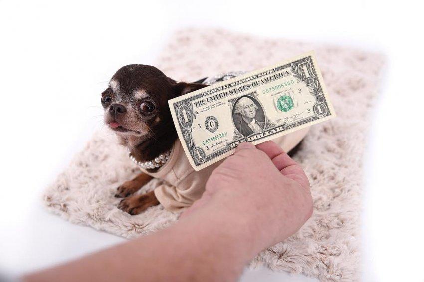 «Какая прелесть! Хочу такую же!»: Самую маленькую собаку в мире клонировали 49 раз - Паранормальные новости