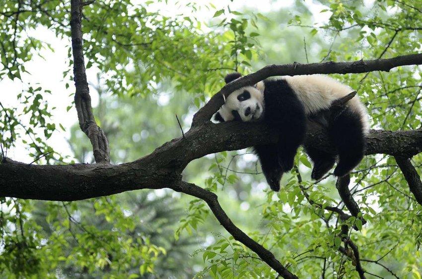 Сохранение гигантской панды не в состоянии оживить более широкую экосистему – новое исследование