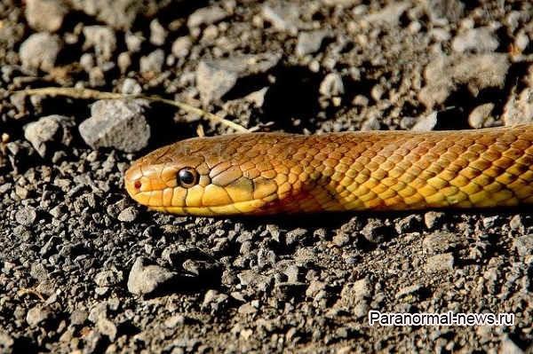 Змея обиделась на подростка, стала выслеживать его и укусила 8 раз за месяц