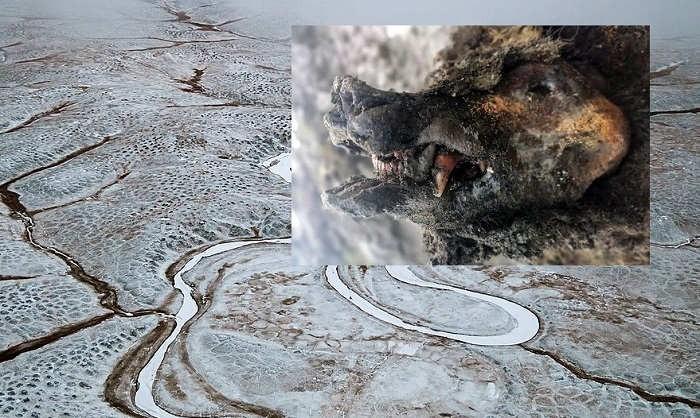 Первый отлично сохранившийся пещерный медведь найден в Якутии