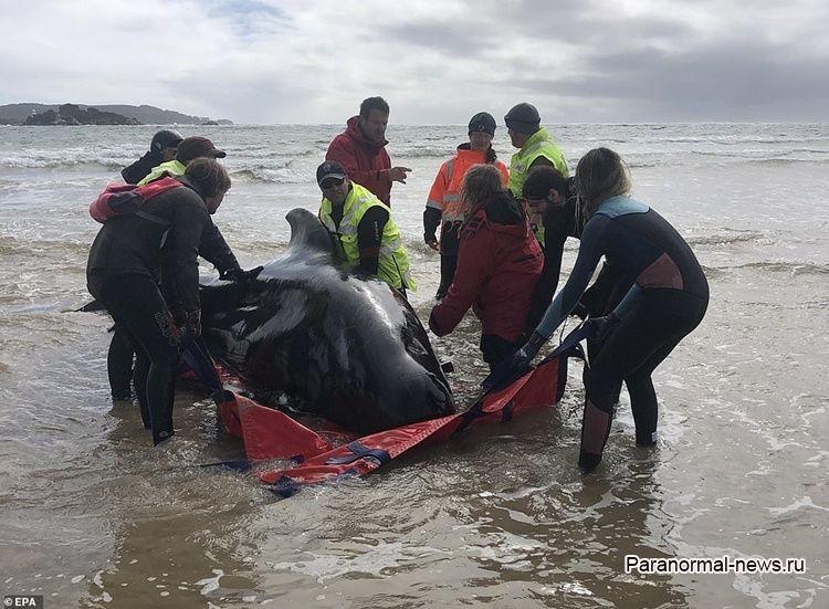 Почти 500 гринд выбросились на берег Тасмании, 380 уже погибли