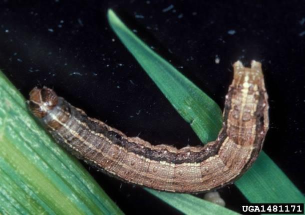 Компания, создавшая ГМО-комаров, теперь выводит гусениц-мутантов