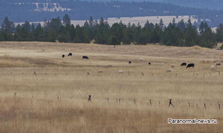 В Орегоне к трупу изуродованной коровы не подходят койоты и птицы-падальщики