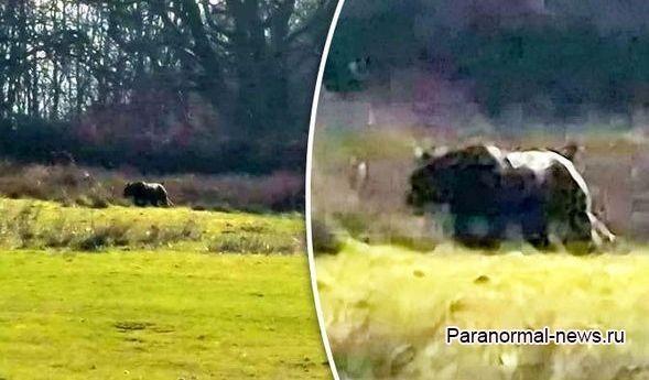 По Шотландии гуляет огромная кошка, убивающая овец