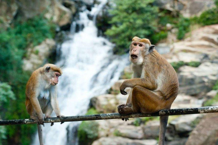 Приматы сталкиваются с надвигающимся кризисом вымирания