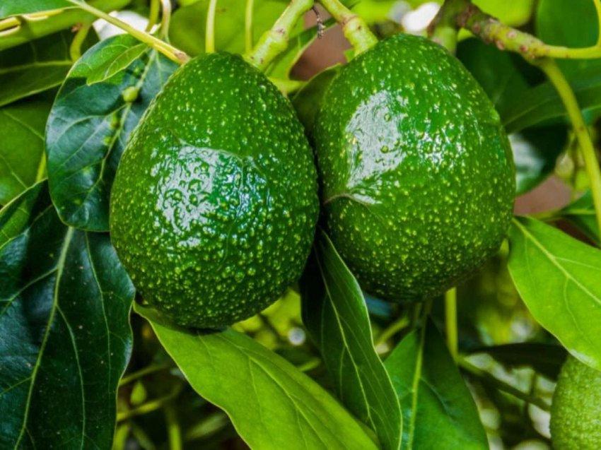 Кровь на зеленом золоте: наркокартели пытаются контролировать плантации авокадо
