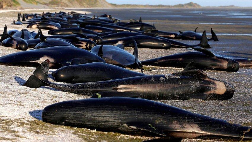 Массовое самоубийство китов в Австралии поставило ученых в тупик