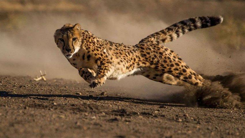 Не так быстро: почему план Индии по возвращению гепардов может столкнуться с проблемами