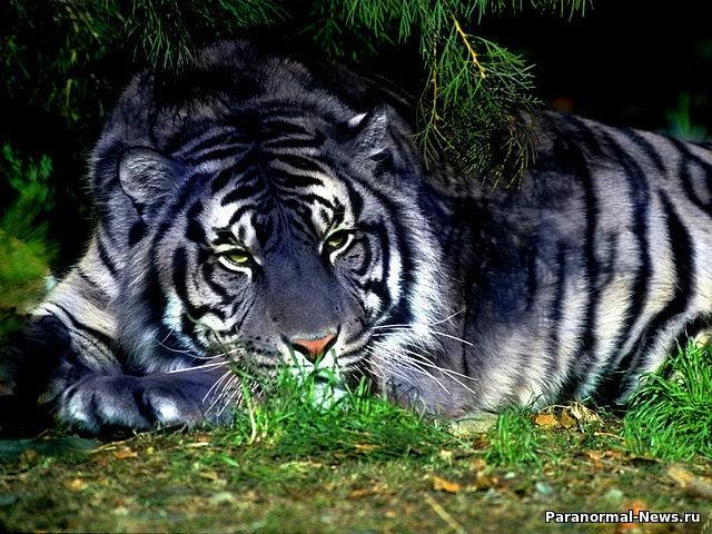 Таинственные голубые тигры: Мутация или что-то иное? - Паранормальные новости