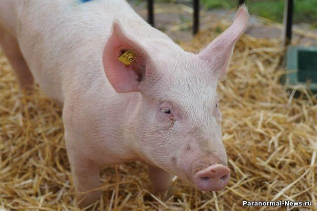 Американская компания готова начать пересаживать людям органы свиней - Паранормальные новости