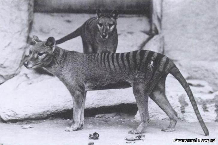 Житель Австралии увидел возле своего дома вымершего сумчатого волка с щенками - Паранормальные новости
