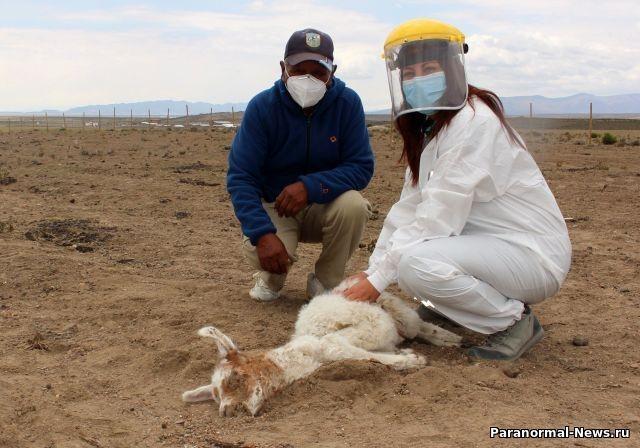 В Чили неизвестное существо убило 50 лам и альпак, высосав из них кровь - Паранормальные новости