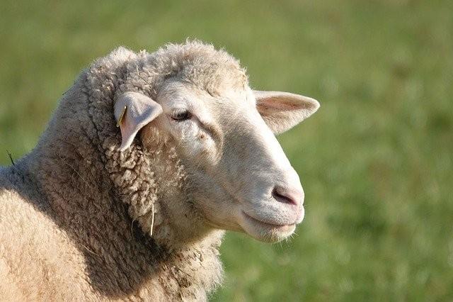 В Мексике чупакабра убила 18 овец - Паранормальные новости
