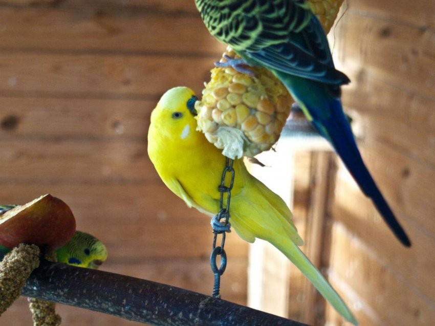 Рейтинг ТОП-10 популярных кормов для птиц