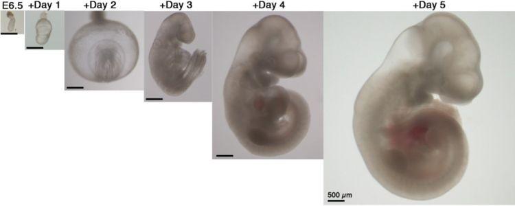 Ученые вырастили мышиные эмбрионы вне матки - Паранормальные новости