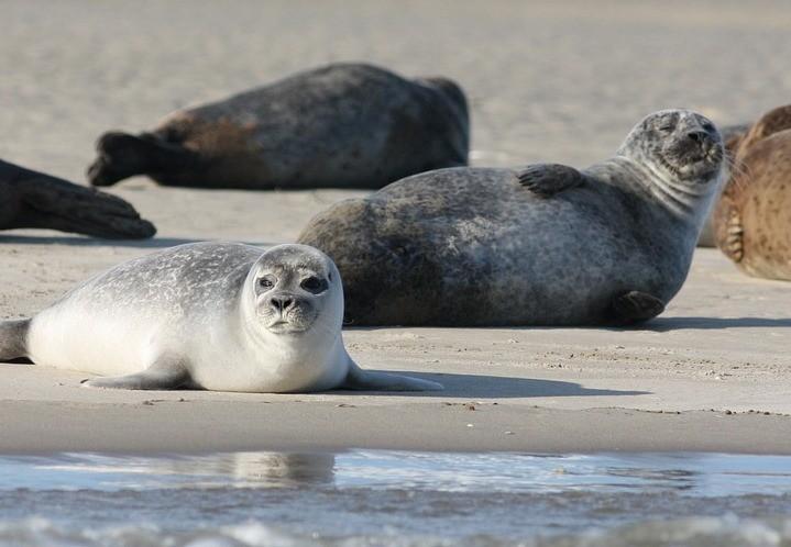 В Канаде 21 тюлень найден обезглавленным и со странными дырами в животе - Паранормальные новости