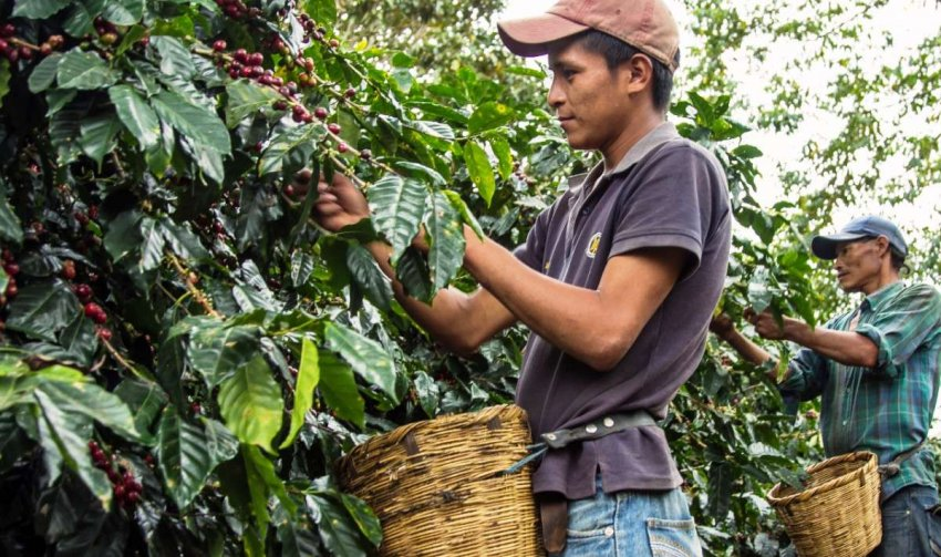 Найден новый вид кофе, способный заменить арабику