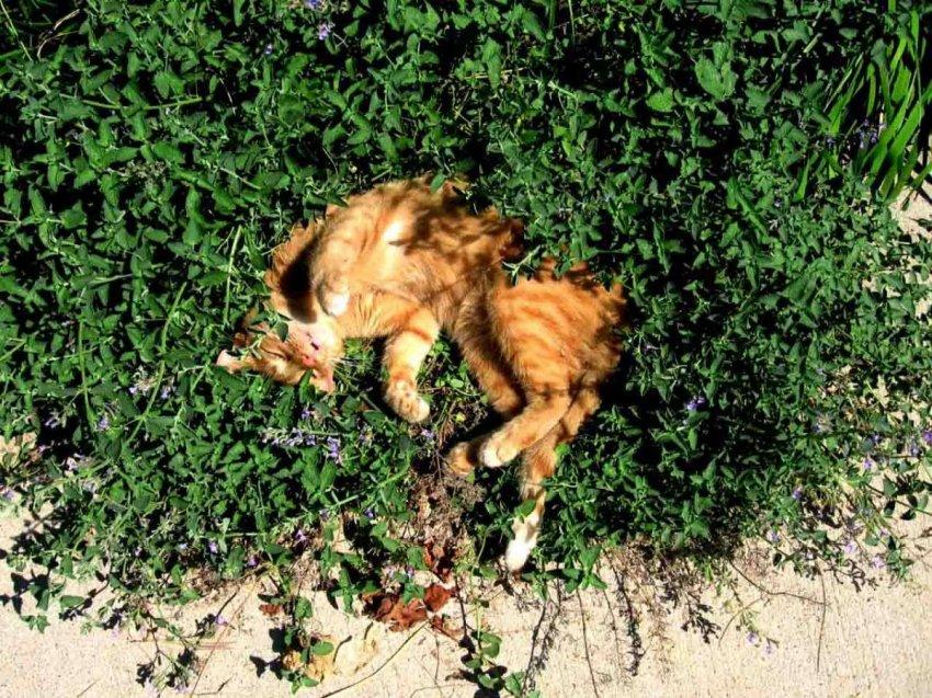 Что такое кошачья мята и безопасна ли она для кошки?