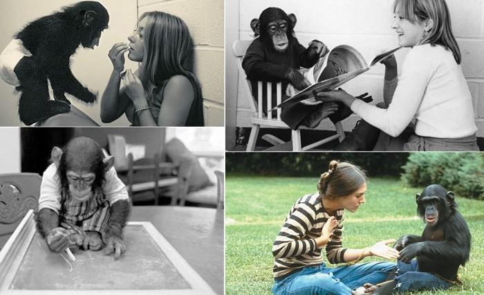 Трагическая история шимпанзе, которого пытались научить быть человеком - Паранормальные новости