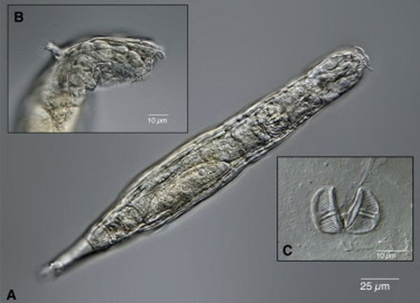 Ученые оживили червей, которые были заморожены в сибирской мерзлоте 24 тысячи лет. Они начали есть и размножаться