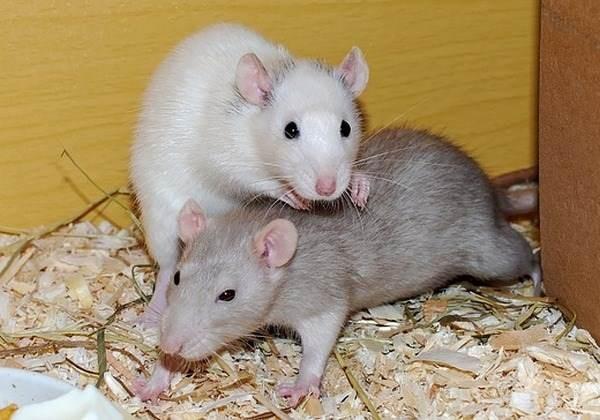 В Китае провели жуткий эксперимент, пересадив крысам-самцам матку и заставив их забеременеть