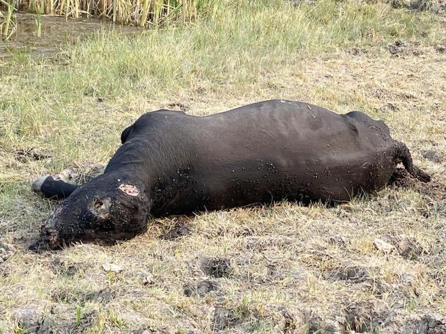 В Орегоне и Аргентине продолжаются загадочные случаи увечья скота