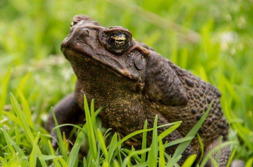 В Австралии агрессивные гигантские жабы становятся безжалостными каннибалами
