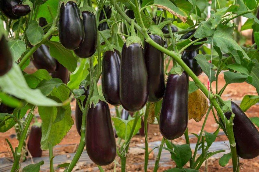 Генетически отредактированные культуры: что полевые испытания могут означать для будущего продовольствия